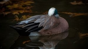 American Widgeon photograph by Chris Reecer